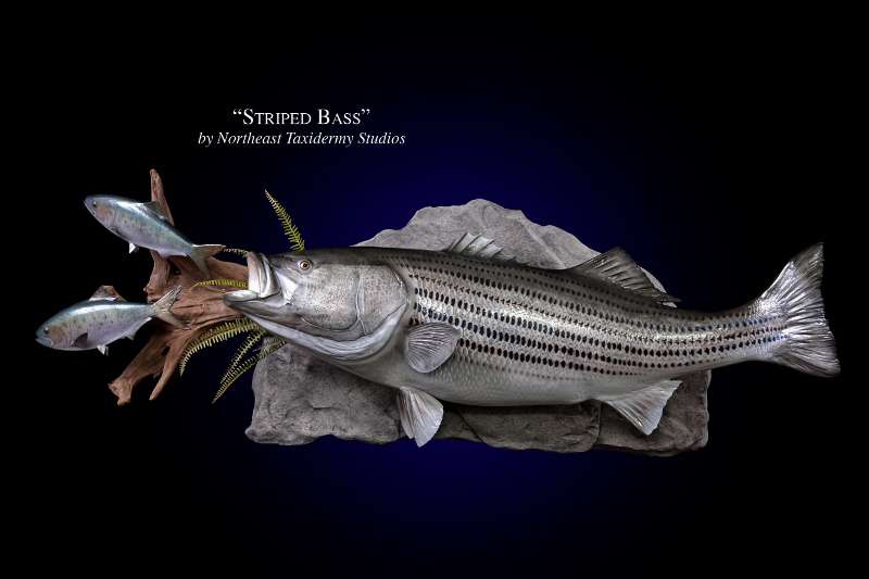Striped bass mounts fish mounts by northeast taxidermy for How to mount a fish