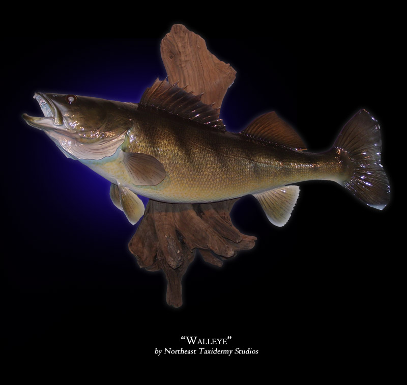 Walleye mounts fish mounts by northeast taxidermy for Mount this fish company